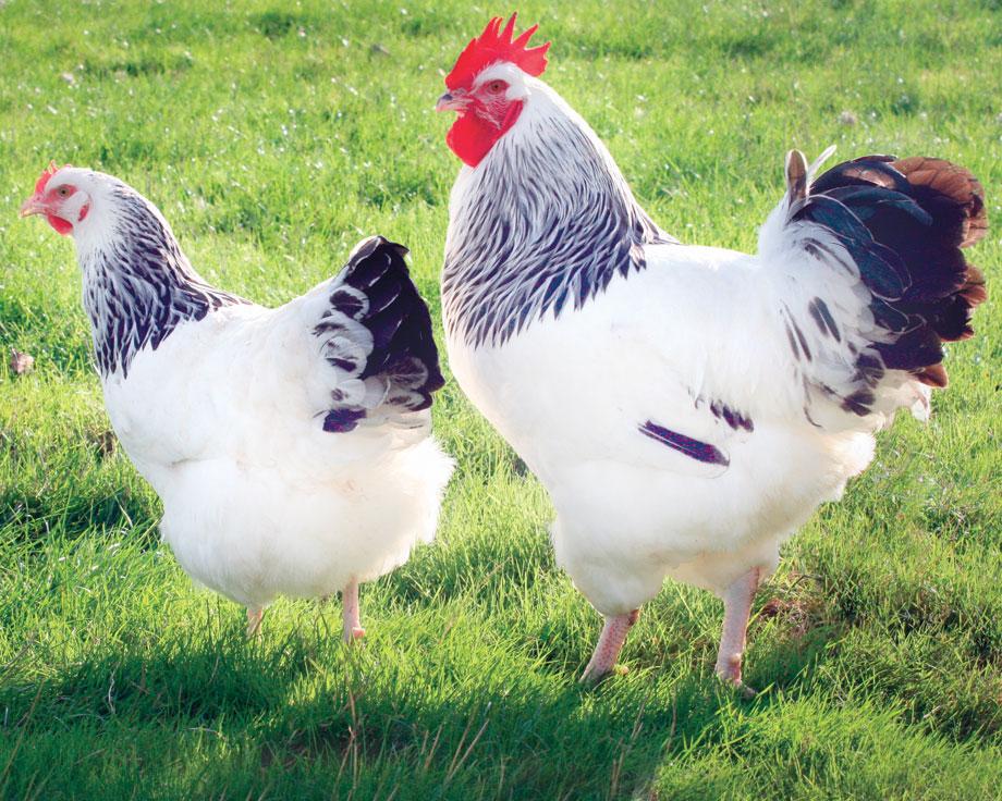poule sussex herminee grande race