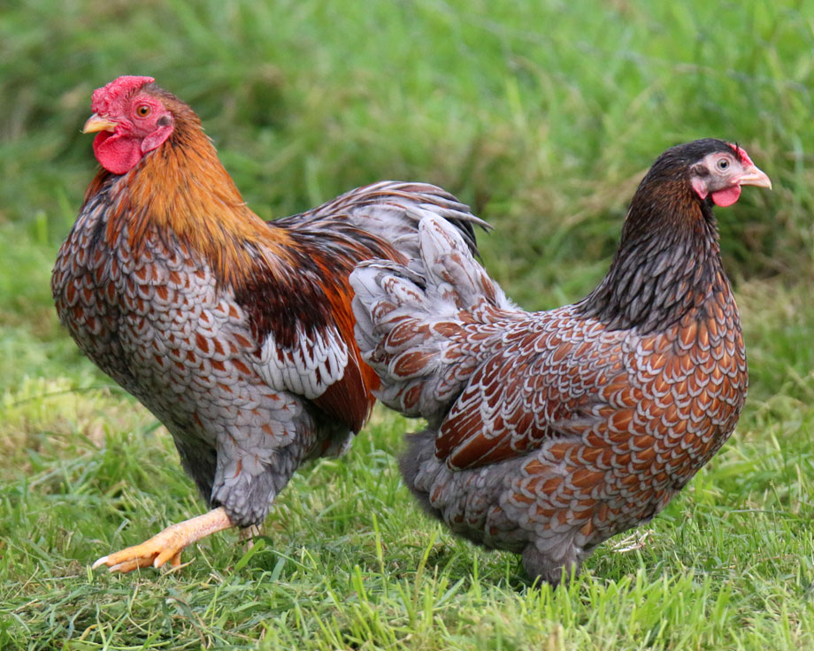 poule wyandotte doree lisere bleu