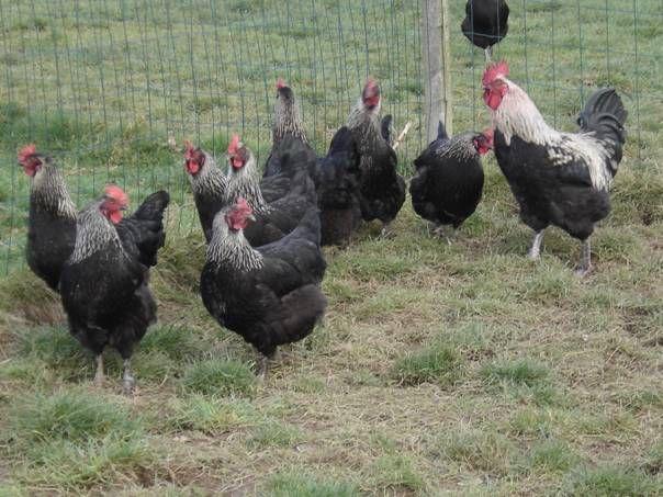 poules marans a vendre