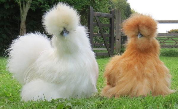 poules negres soies
