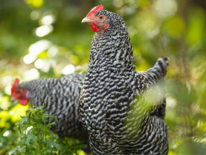 poules pondeuse