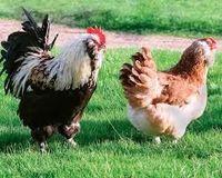 poules pondeuses a vendre le bon coin
