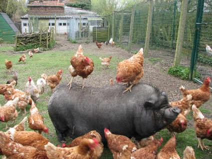 poules pondeuses a vendre pas cher