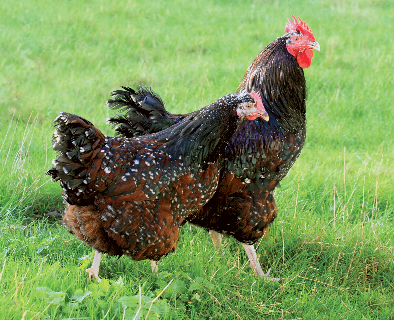 poules pondeuses a vendre