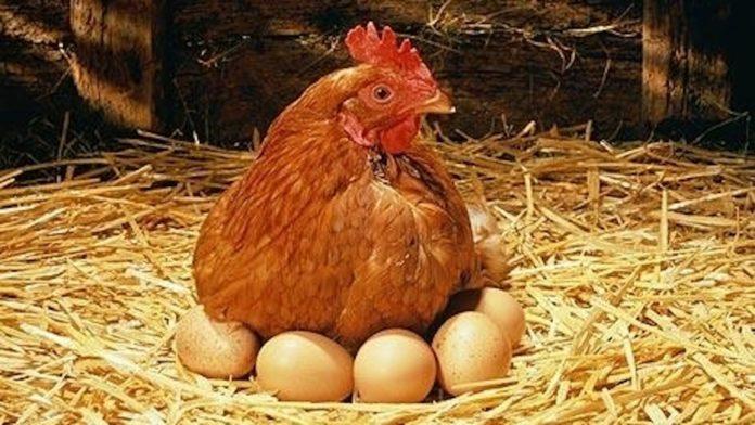 poule pondeuse mange ses oeufs