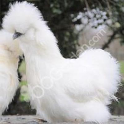 poule soie tarif