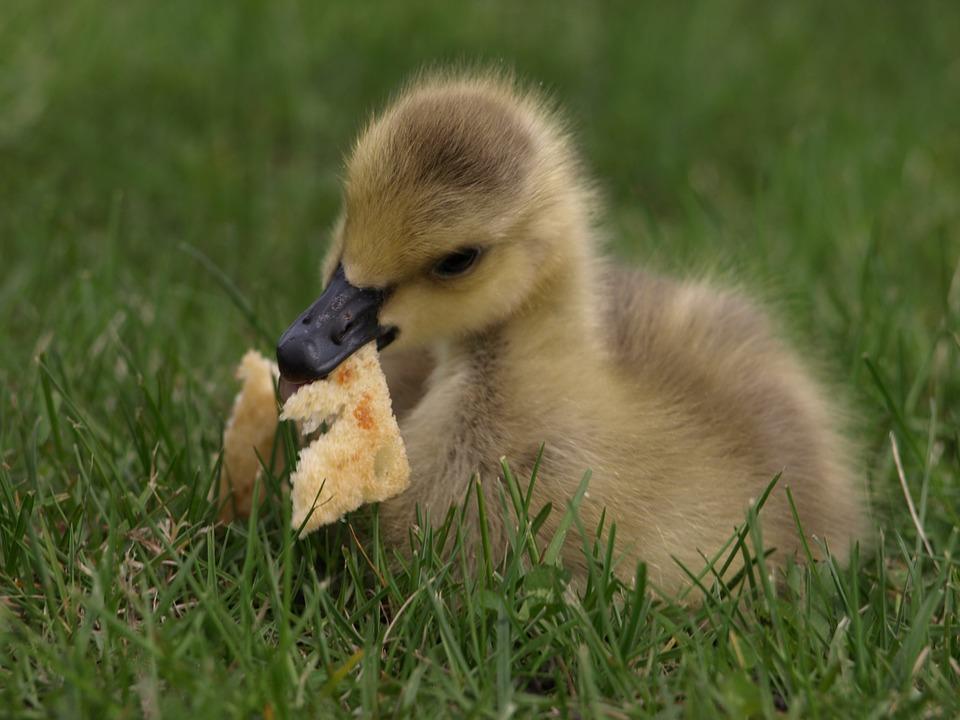 que mange les canards