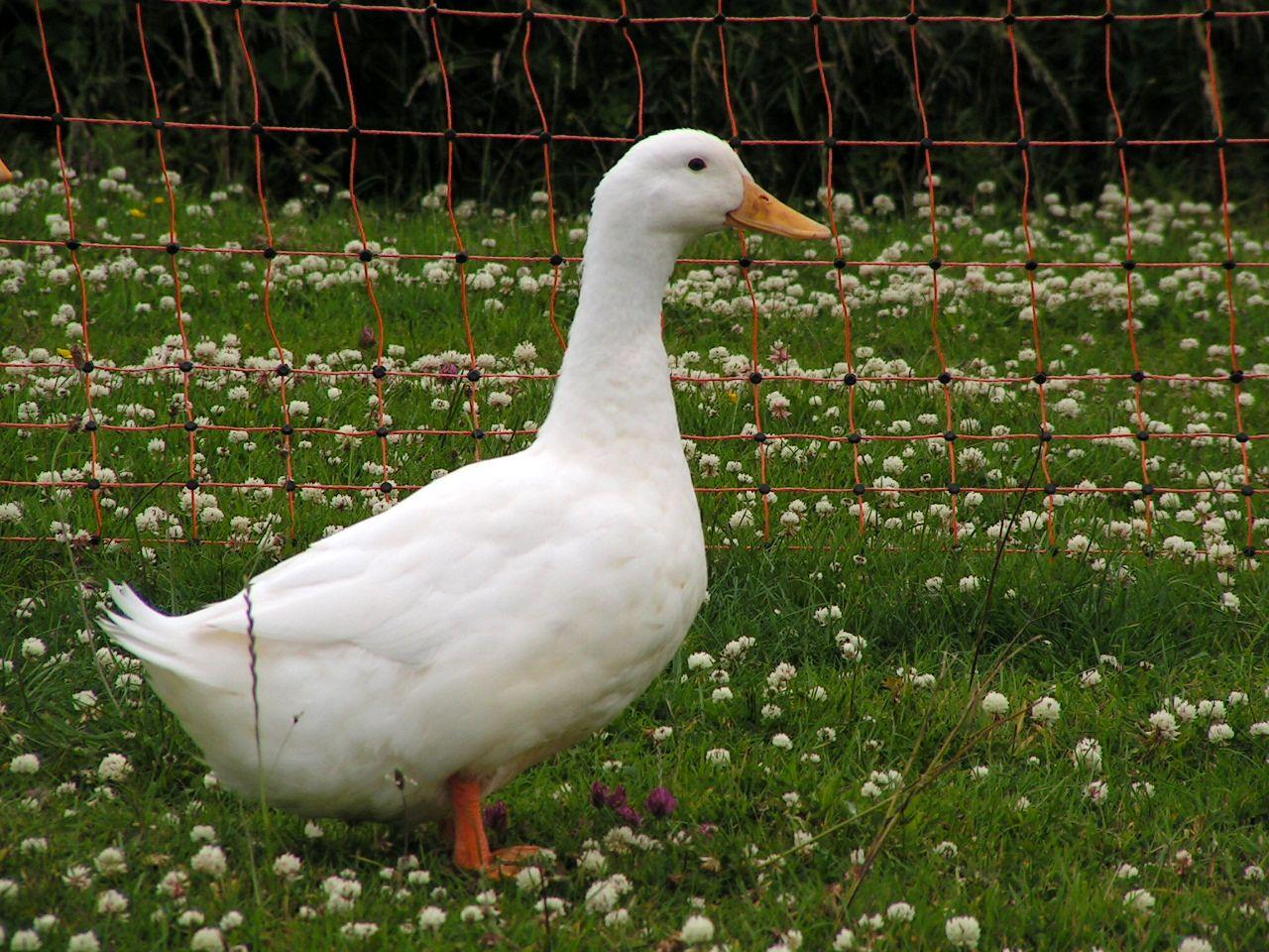 race canard