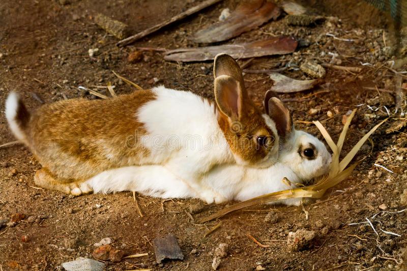 reproduction de lapin