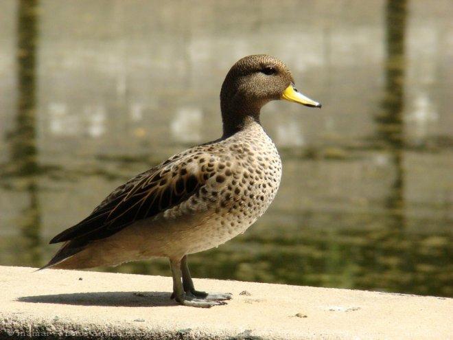 sarcelle canard