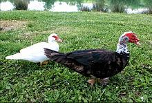 temps de couvaison canard