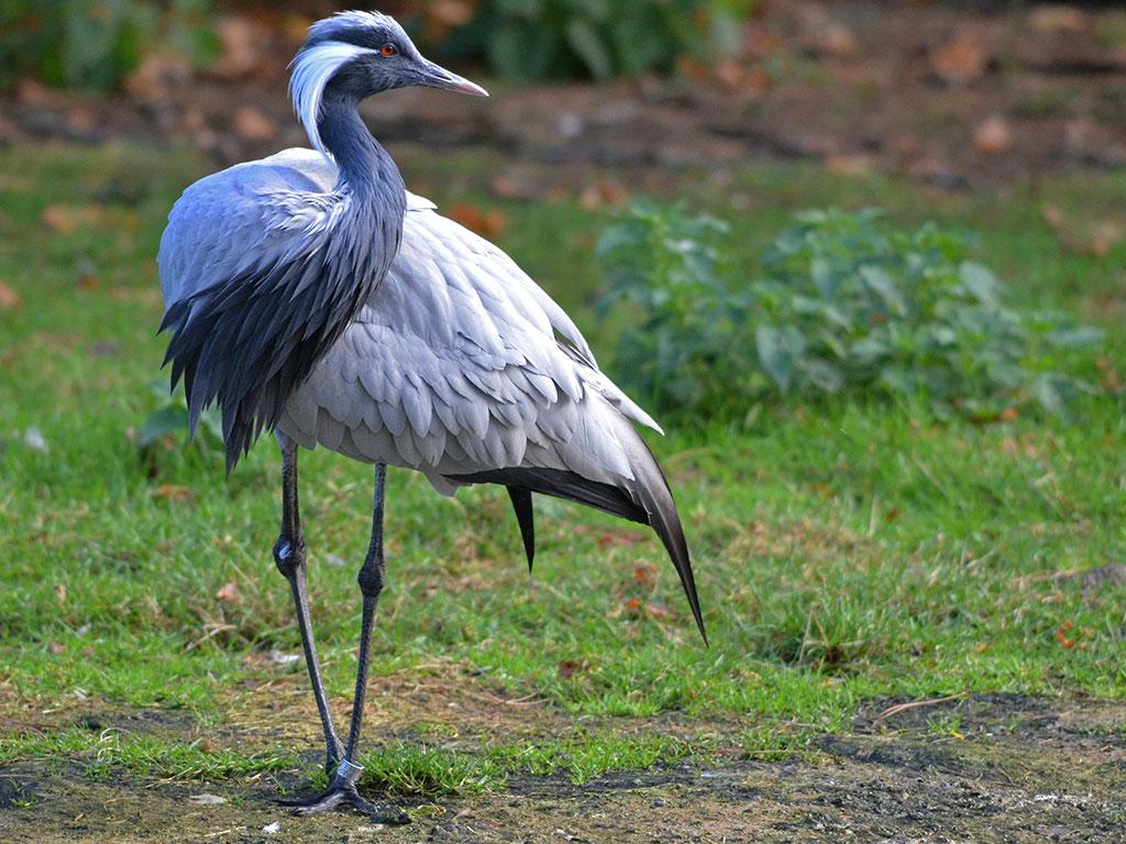 une grue oiseau