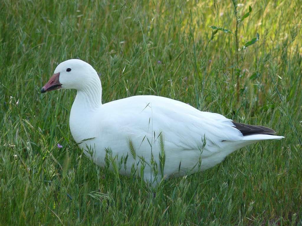 une oie blanche
