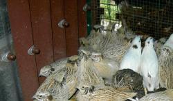 vente de cailles vivantes