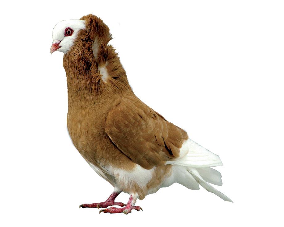 vente de pigeon