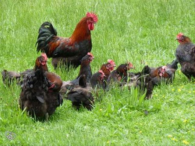 vente de poules de race