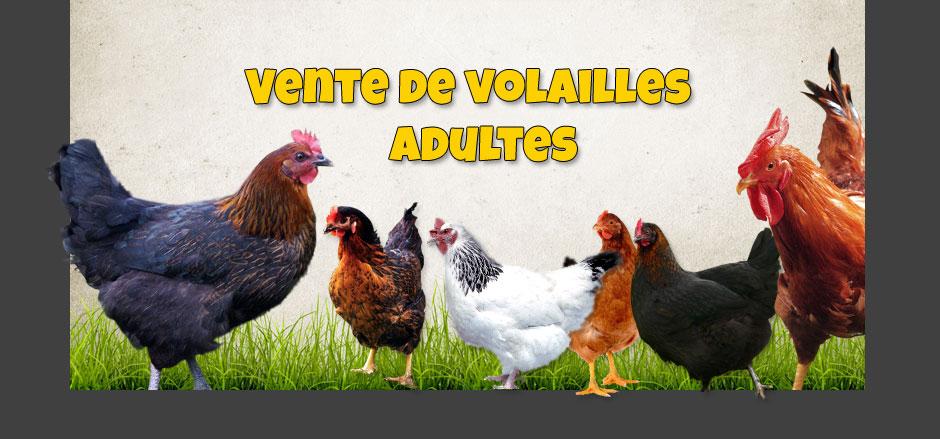 vente de volaille vivante en ligne