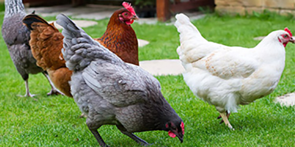vente de volaille vivante par correspondance