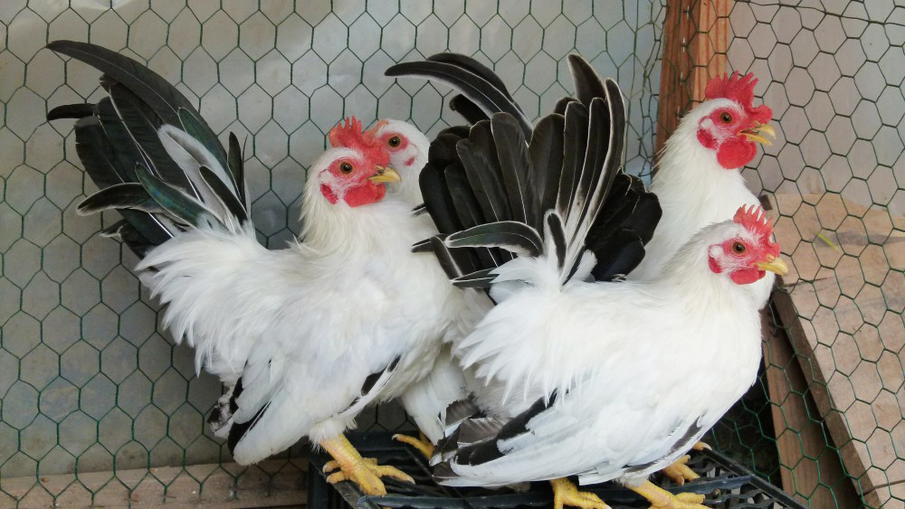 vente poule naine