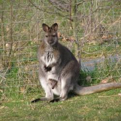 wallaby de bennett a vendre