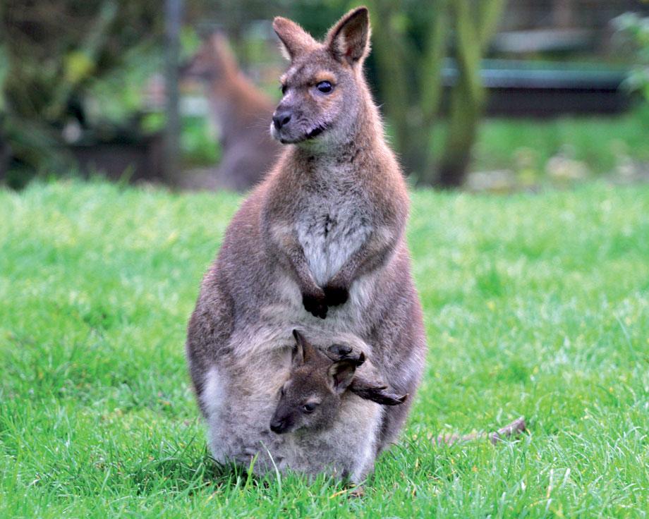 wallaby de bennett elevage