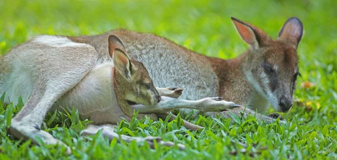 wapiti kangourou