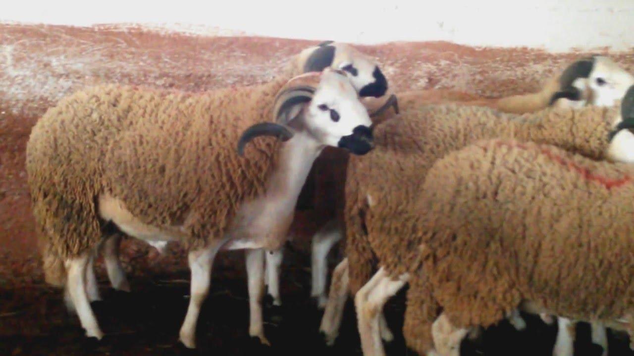 achat mouton
