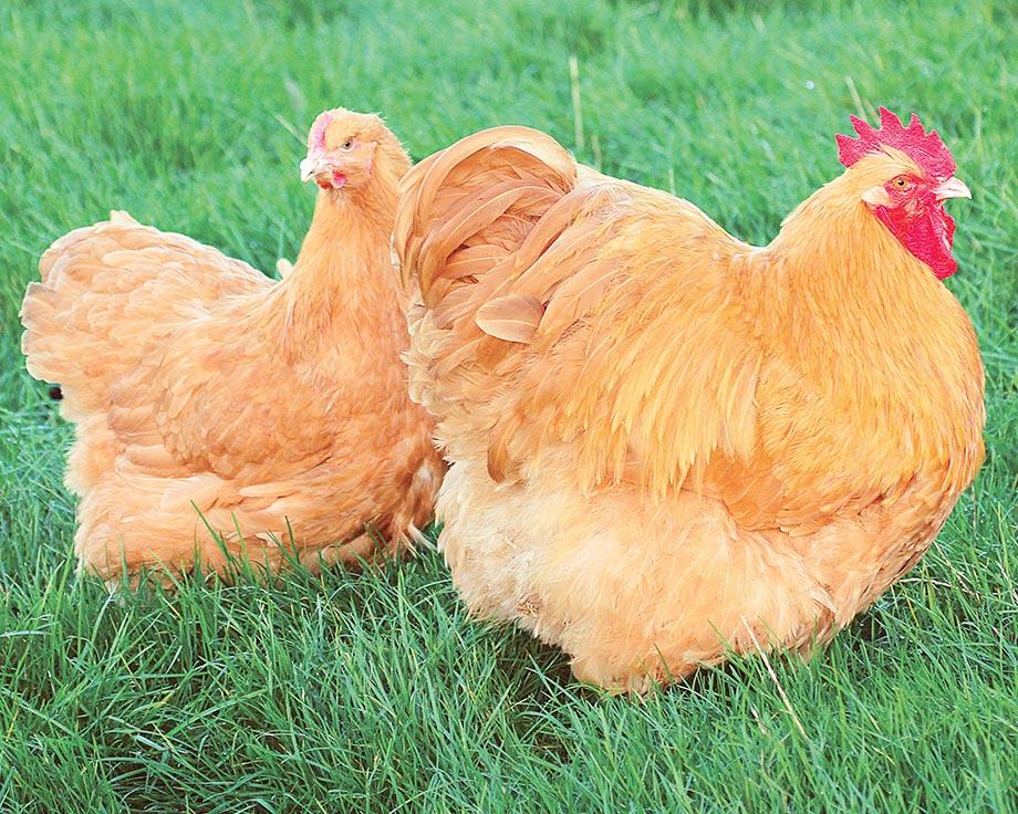 achat poule orpington