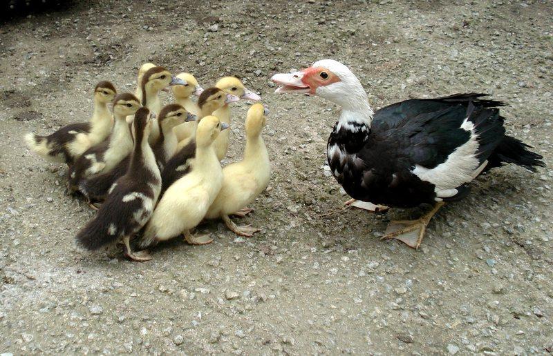 acheter canard