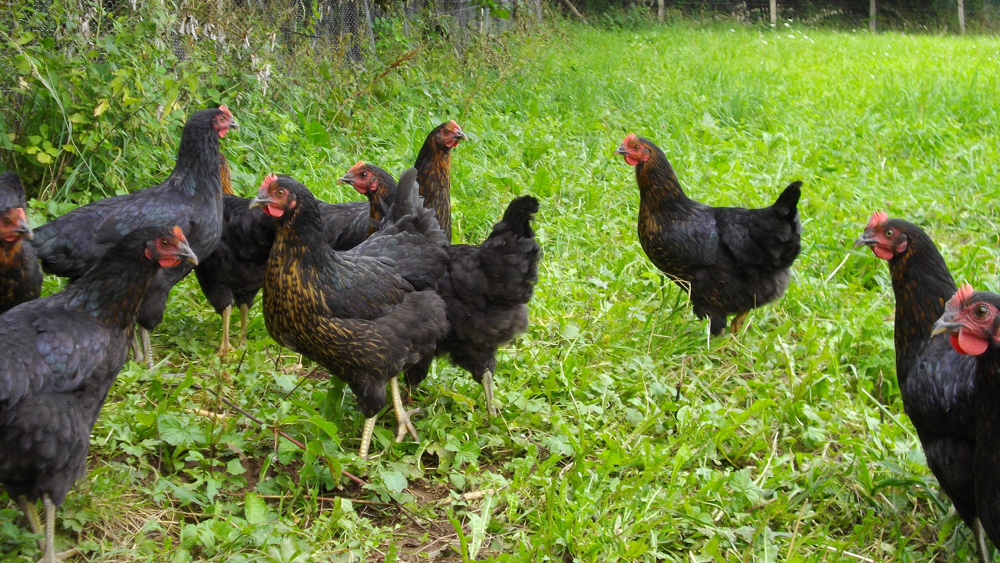 acheter des poules pondeuse