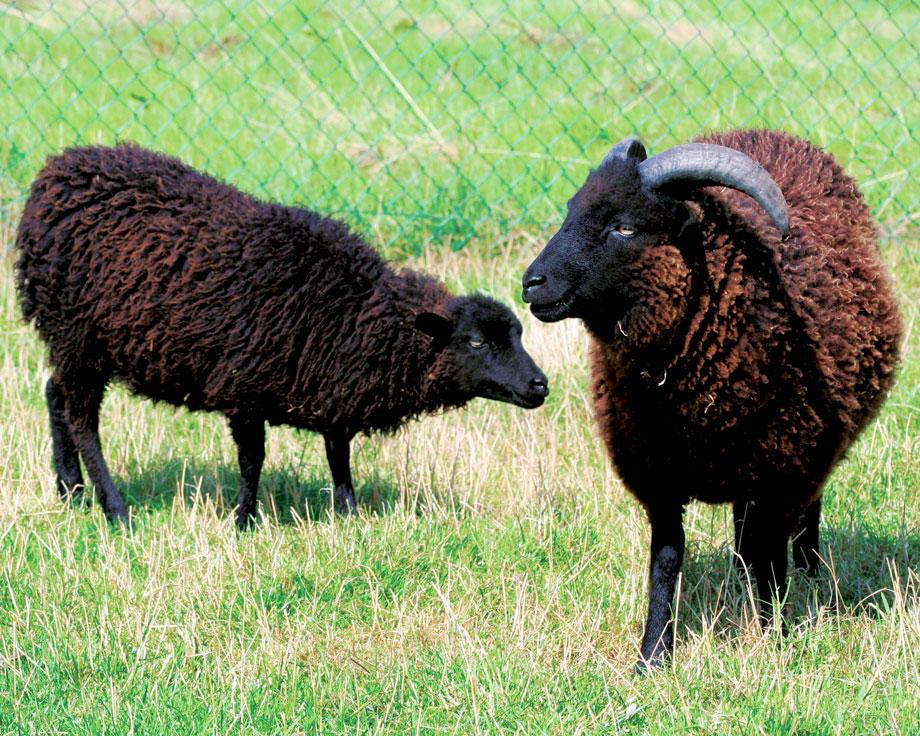 acheter mouton