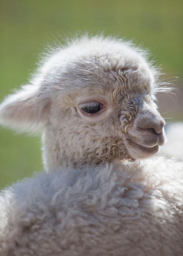 acheter un lama