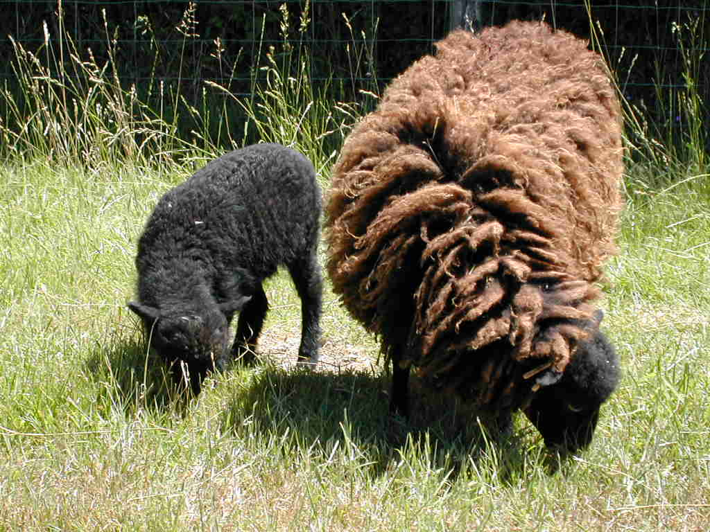 agneau ouessant