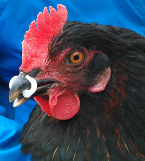 anneau anti picage poule