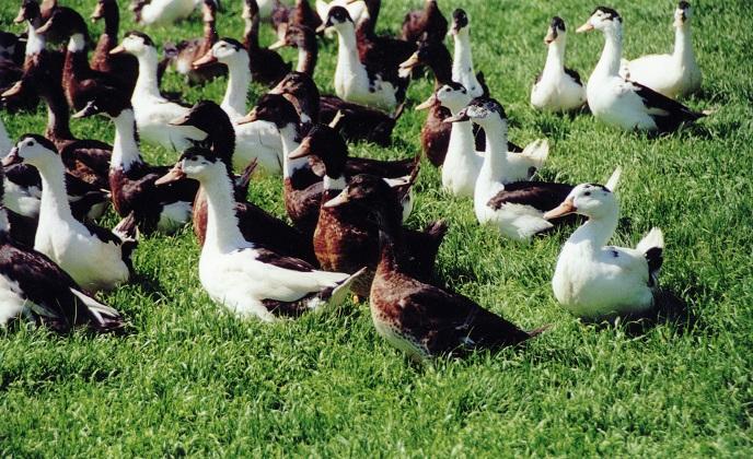 canard de ferme