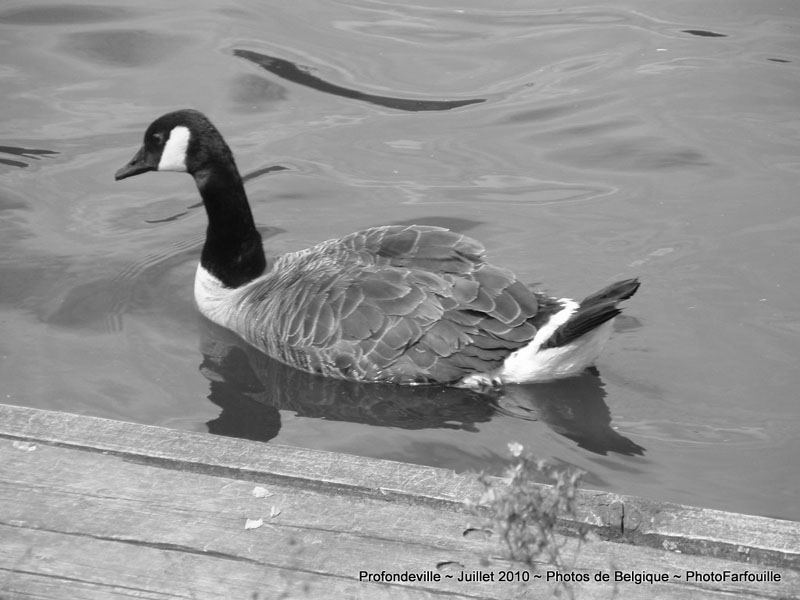canard noir et blanc