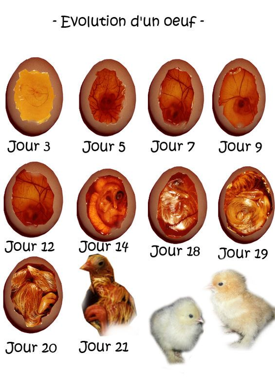couveuse oeuf poule