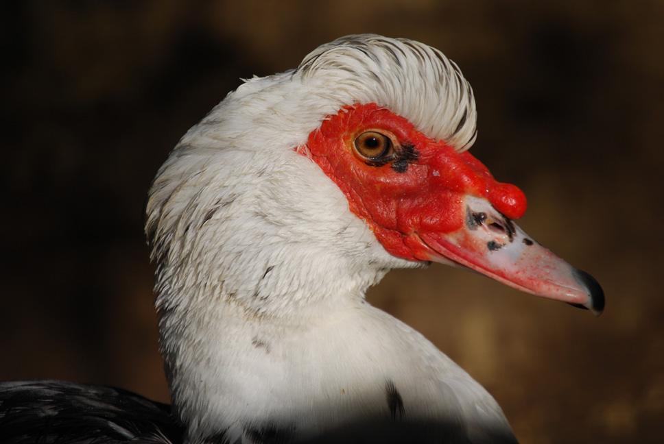 duree de vie d un canard