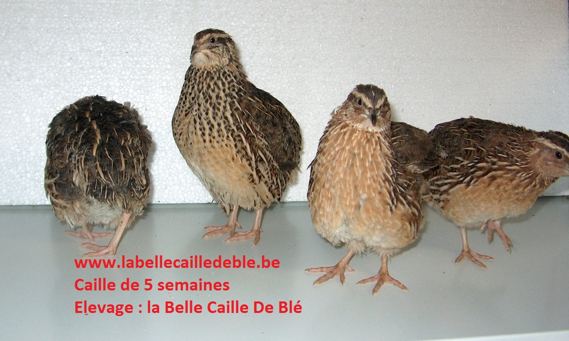 elever caille
