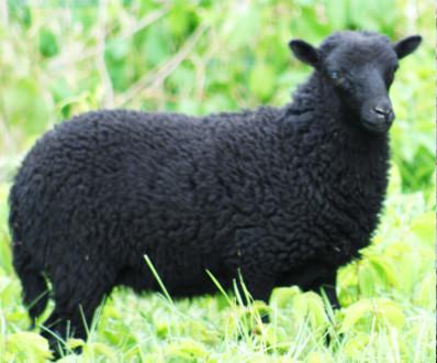 mouton de ouessant