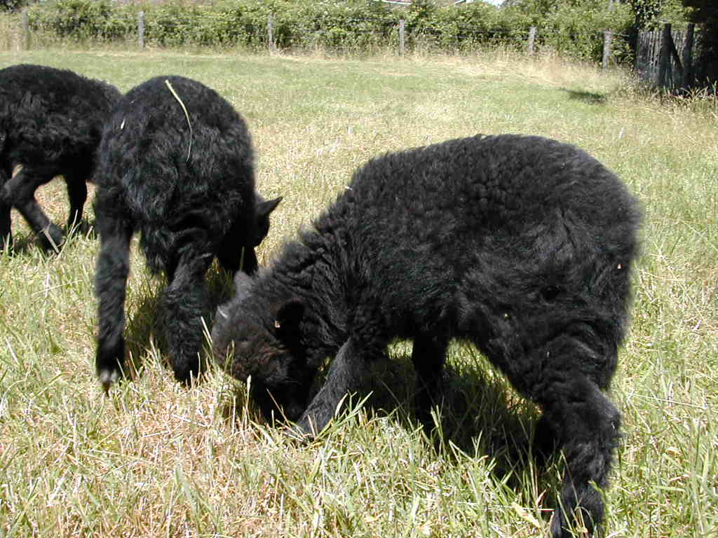 mouton nain a vendre
