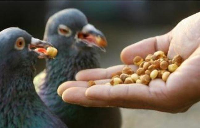 nourriture pigeon