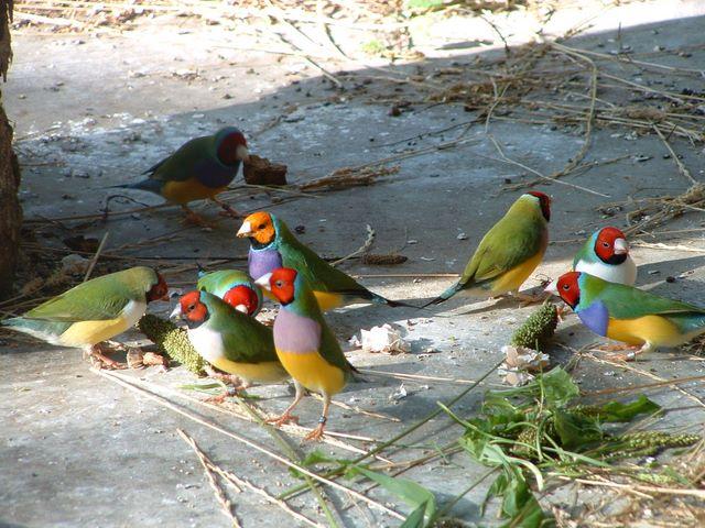 oiseaux exotiques elevage