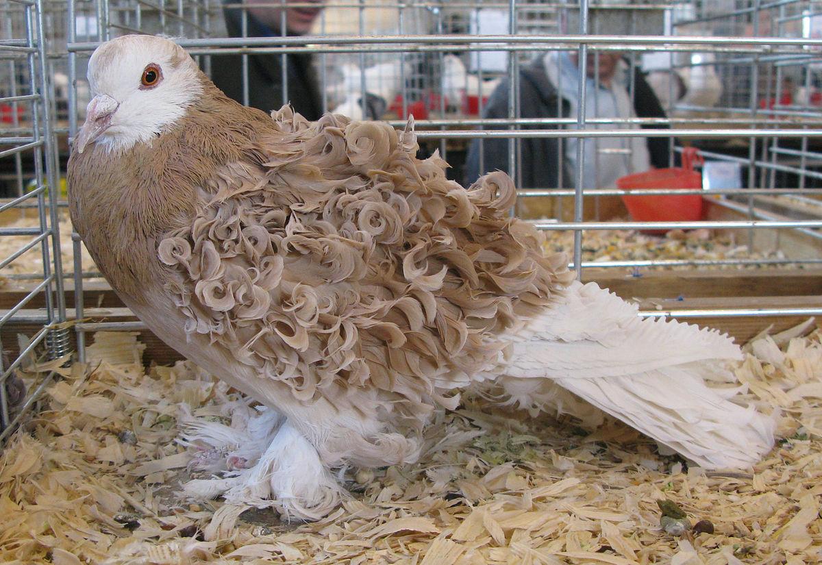pigeon frise
