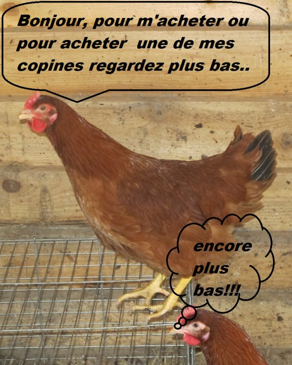 poule a vendre
