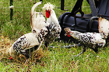 poule appenzelloise