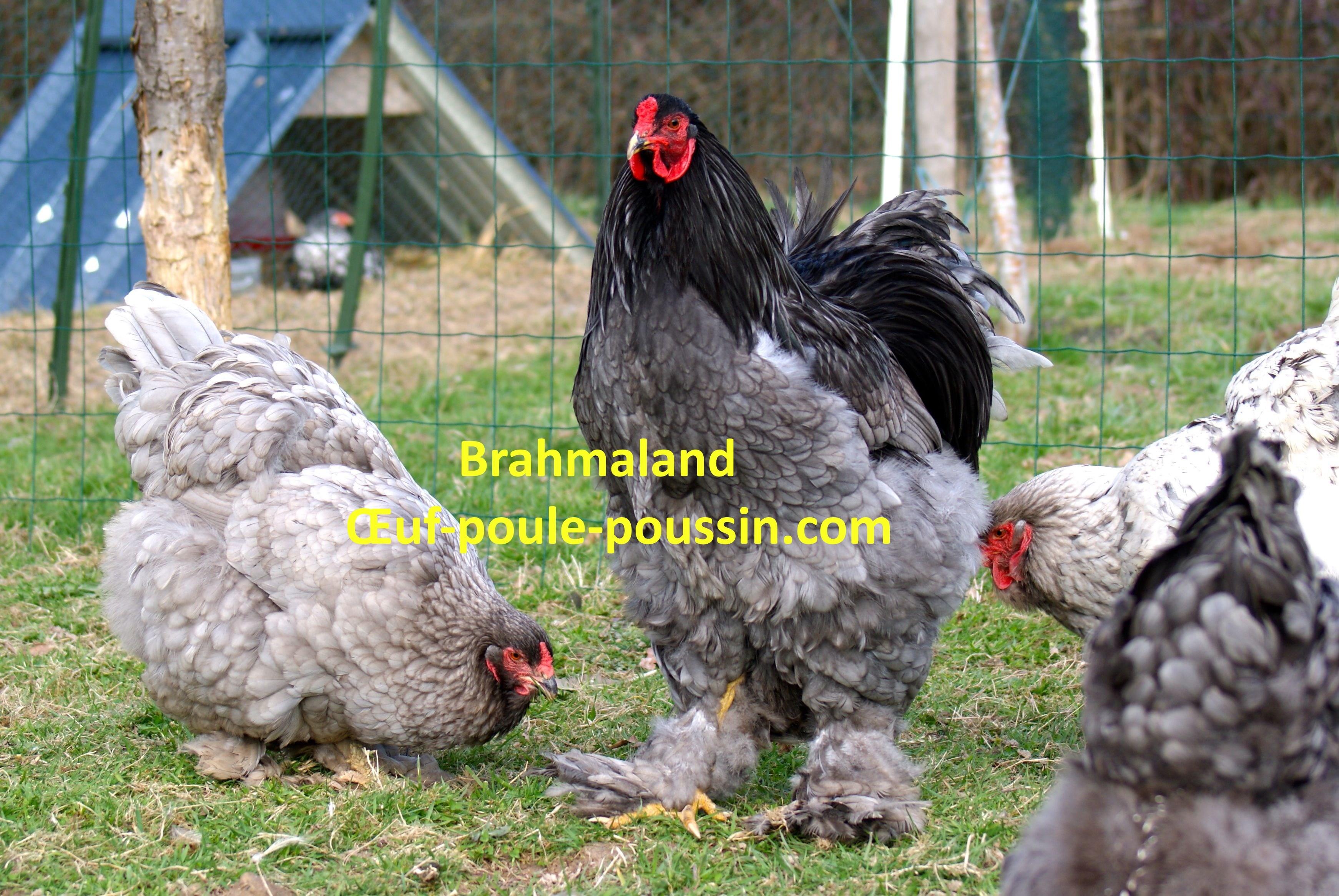 poule brahma bleu