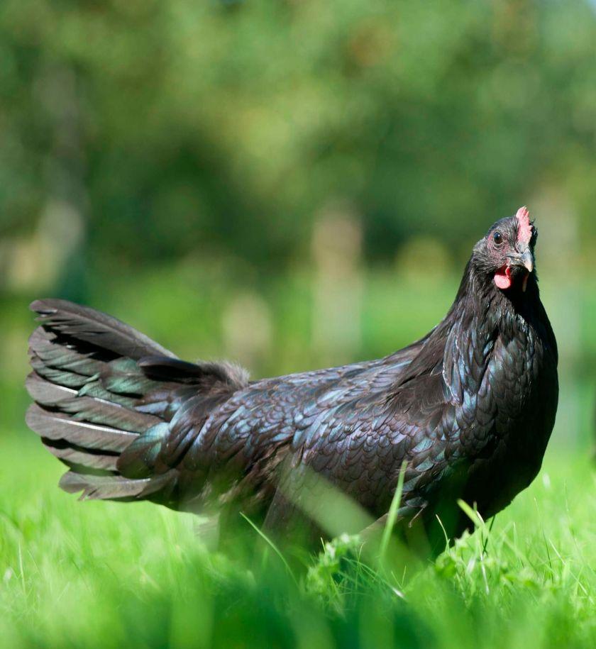 poule de janze