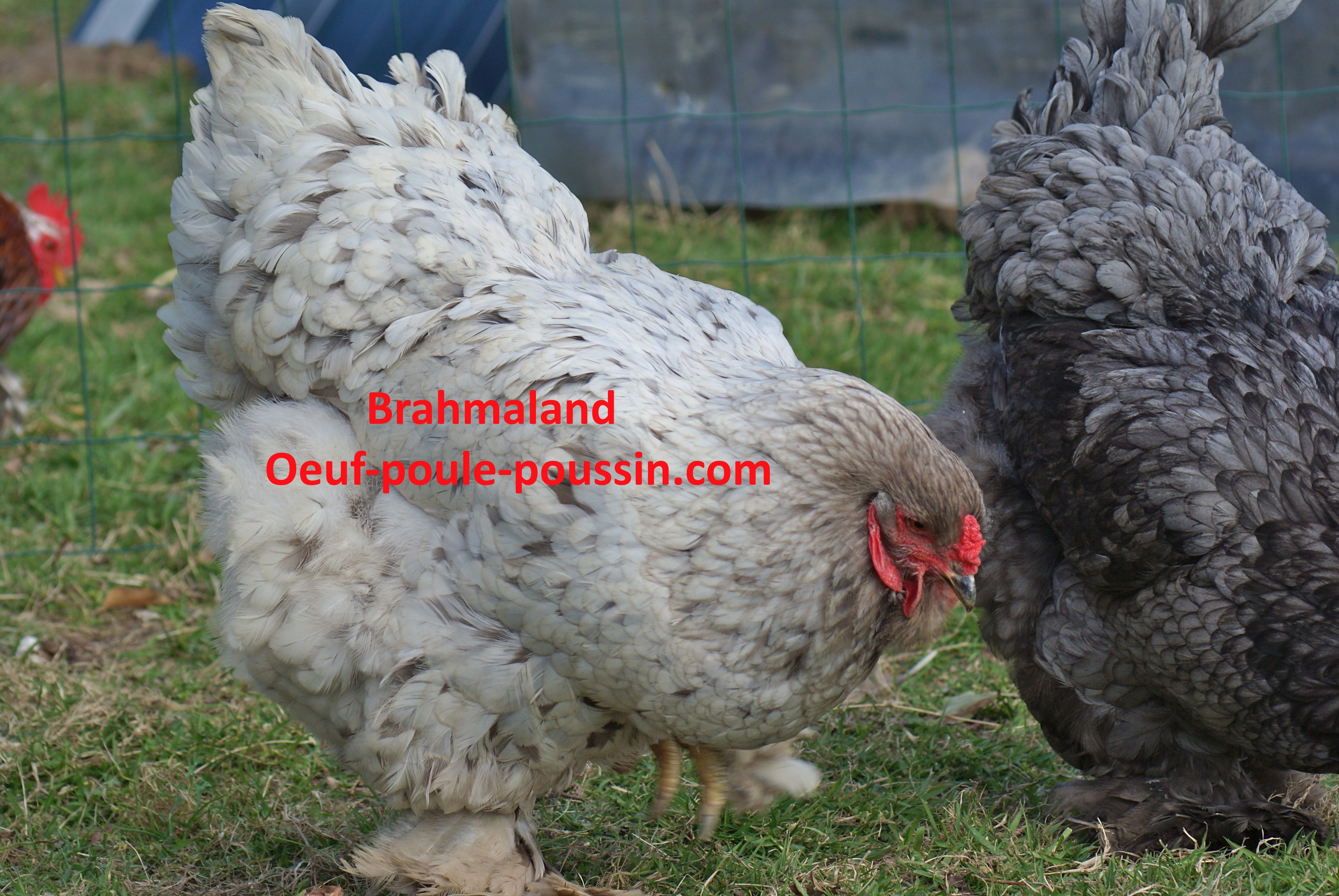 poule de race brahma