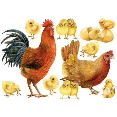 poule et poussin